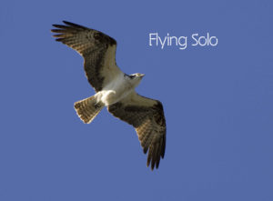 osprey-bird-in-flight_flying solo